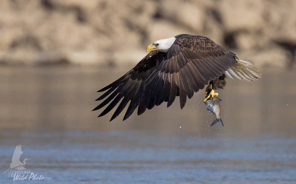 Adult Eagle preparing with a catch