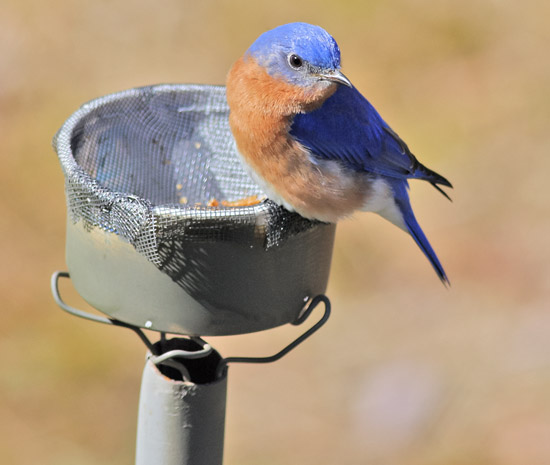 bluebird meal worm feeder