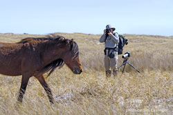 Photographing wild horses on Shackleford Banks